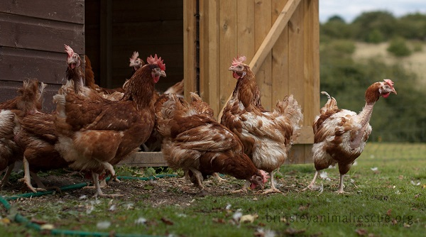 Chickens at brinsley Animal Rescue